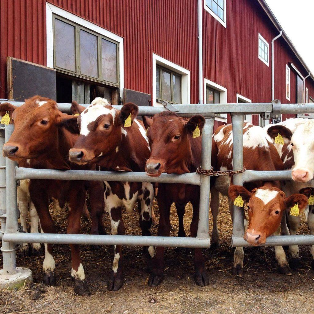 Viikin tutkimustilan lehmiä.