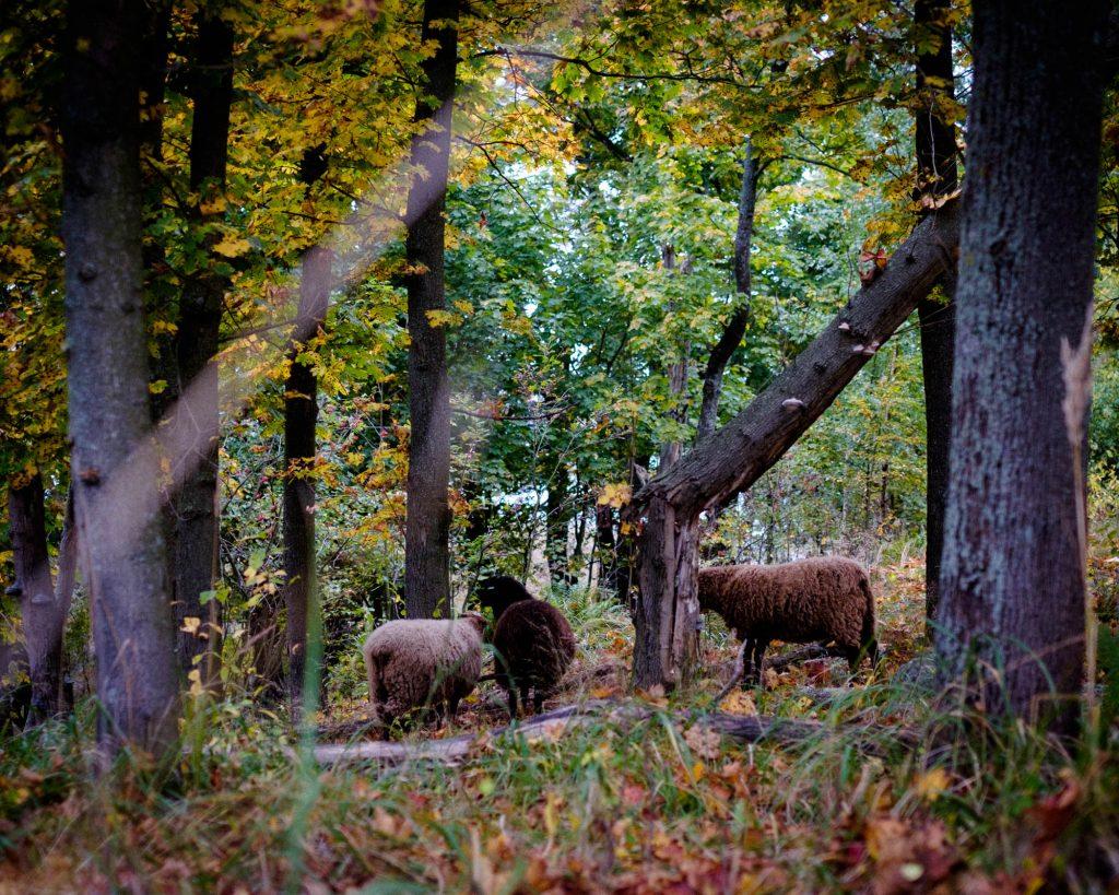 Kuusiluodon lampaita syksyllä 2017.