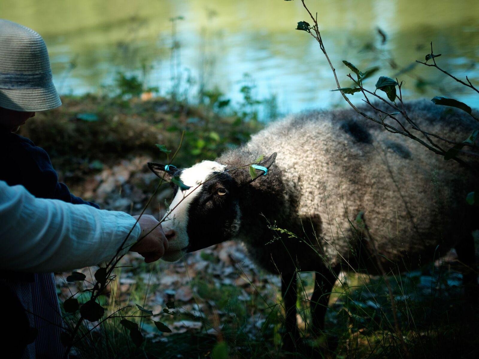 Mustasaaren lampaat ovat tottuneita pieniin vieraisiin ja innokkaisiin rapsuttelijoihin.